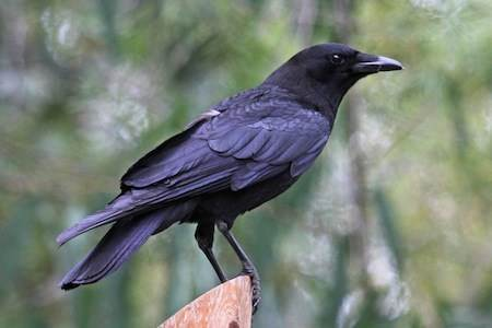 Can crows help us understand the 5 love languages?